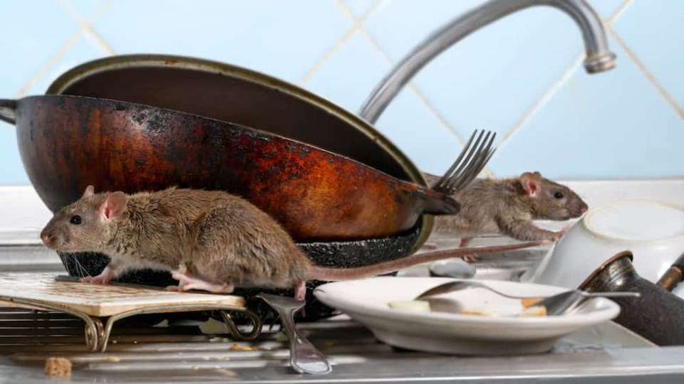 Why Is Mice Control in Vancouver a Crucial Matter of Concern?